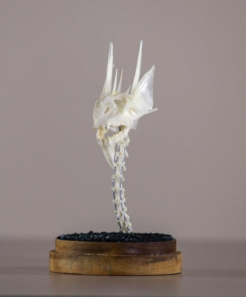 "Gerard Geer - ""Dragon Skull 3"" - assorted fish and bird bones on acacia base under glass dome - 10 x 20cm (3.9""x7.9"")"