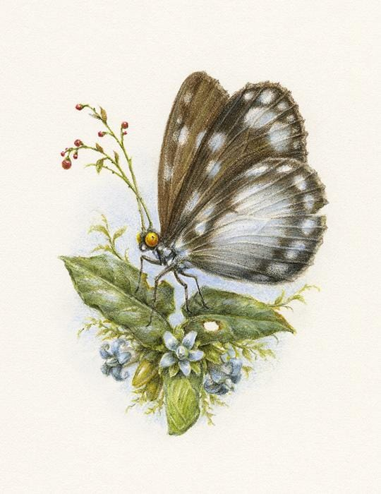 "Courtney Brims - 'Cairns Hamadryad Butterfly' - coloured pencils on Arches watercolour paper - 10 x 14cm (4""x5.5"")"