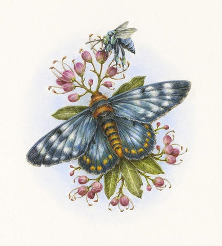 "Courtney Brims - 'Peacock Jewel Moth' - coloured pencils on Arches watercolour paper - 10 x 14cm (4""x5.5"")"