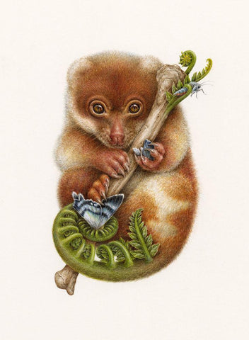 "Courtney Brims - ""Cuscus with North Queensland Day Moth"" - coloured pencil on paper - 14 x 19.5cm (5.5""x7.7"")"
