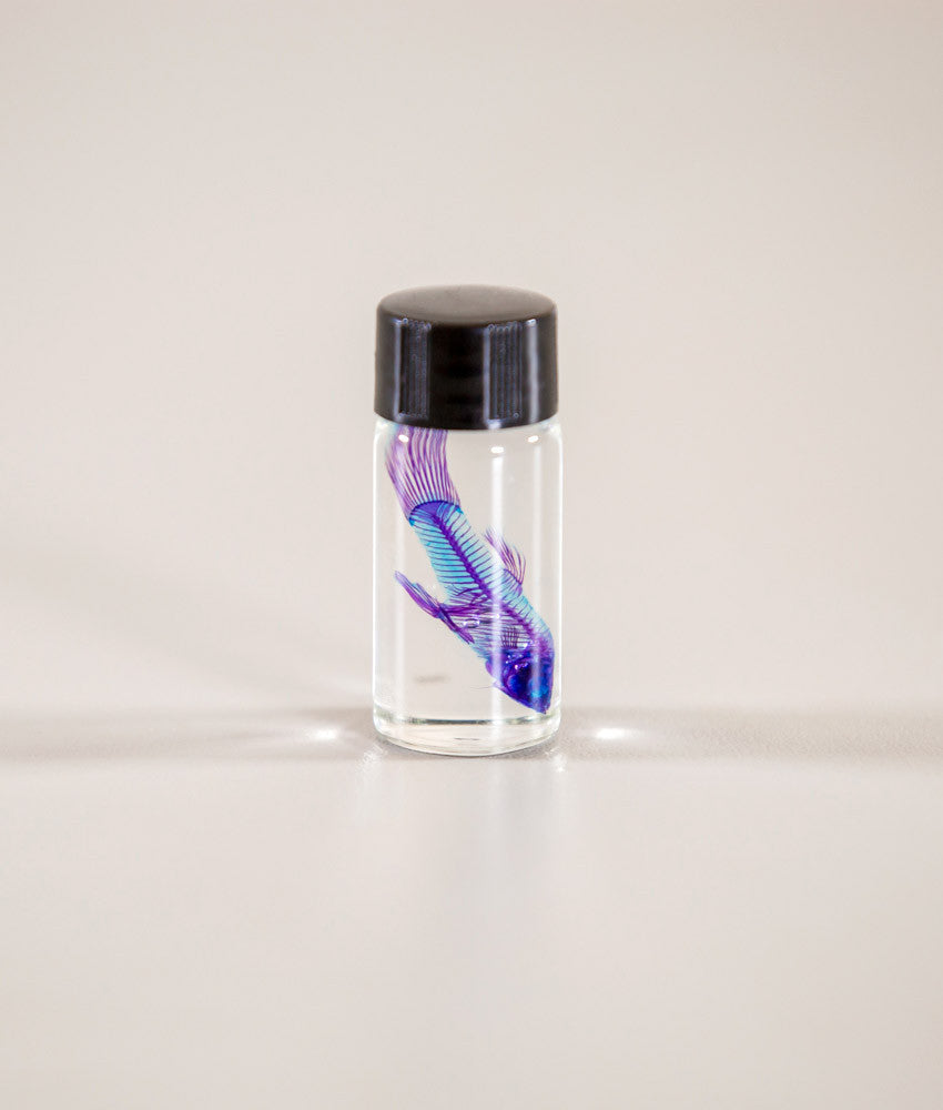 "Gerard Geer - ""Small Diaphonised Fish"" - cleared and stained fish specimen in glass vial - 5.3cm (2.1"")"