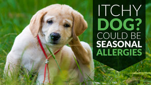Itchy Dog? It Could Be Seasonal Allergies
