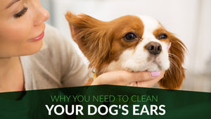 Why You Need to Clean Your Dog's Ears