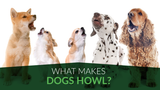 What Makes Dogs Howl?