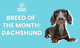 Dachshunds: Long Body, Short Legs & All You Need To Know About The Breed