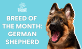Breed of the Month: German Shepherd