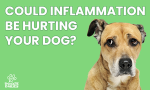 Anti Inflammatory for Dogs: Why Controlling Inflammation is Critical For A Healthy Dog