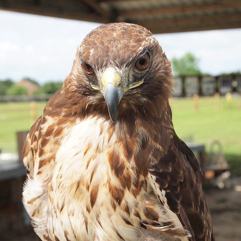 Izzy, our adopted red-tailed hawk at the Avian Reconditioning Center in Apopka, FL.