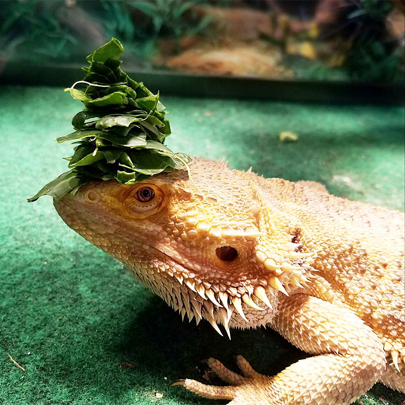 "Shenron says, ""when you don't feel like eating your vegetables, wear them as a hat instead"""