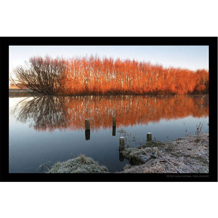 Unique/Thick postcard : Scenic - Coloured Willows - Kiwi Collections