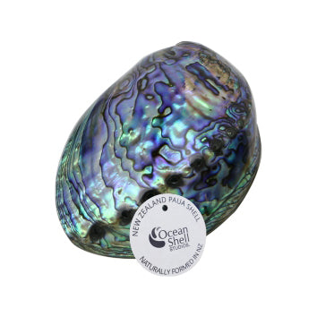 PAUA SHELL WITH STORY - Premium