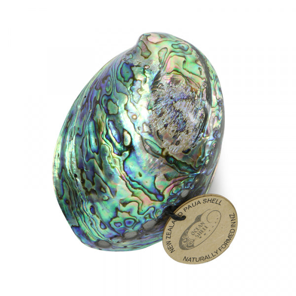 PETITE PAUA SHELL - WITH LABEL - Kiwi Collections
