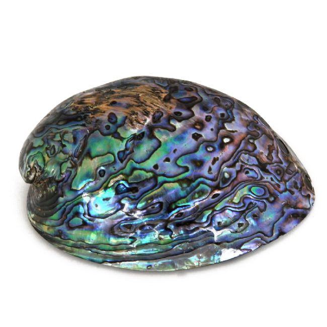 Polished Paua Shell - C - Kiwi Collections