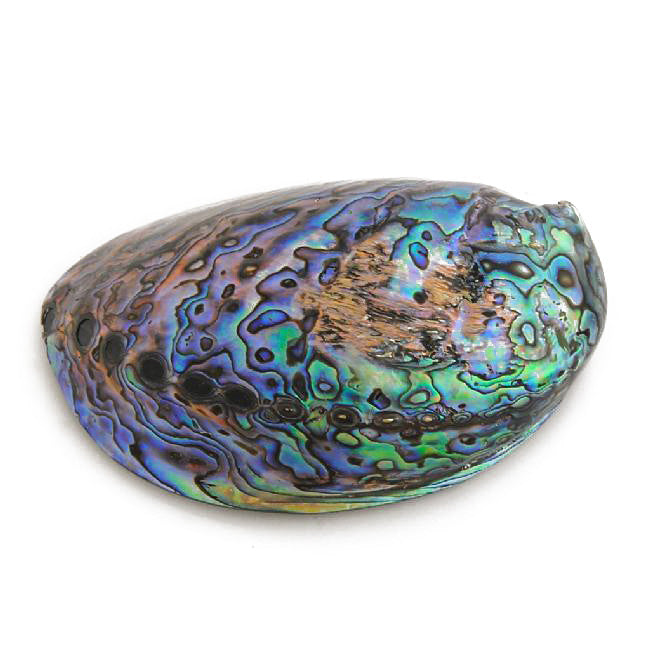Polished Paua Paper Weight - Small - Kiwi Collections