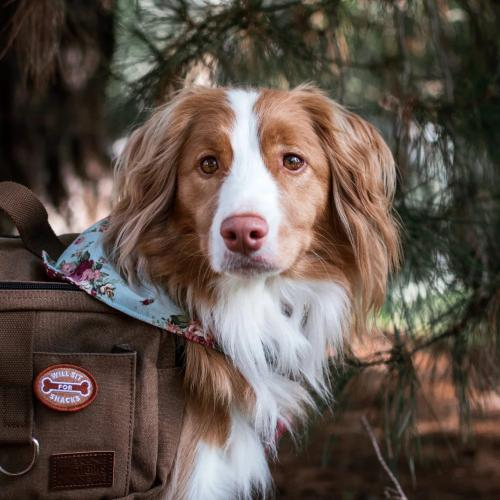 Will Sit For Snacks Merit Badge - Sir Dogwood