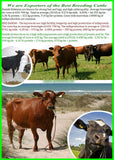 Breedig Cattle, Cattle export  from Denmark. Danish Holstein, Danish red, Danish Jersey