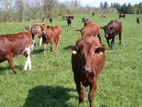 Breedig Cattle, Cattle export  from Denmark. Danish Holstein, Danish red & Danish Jersey