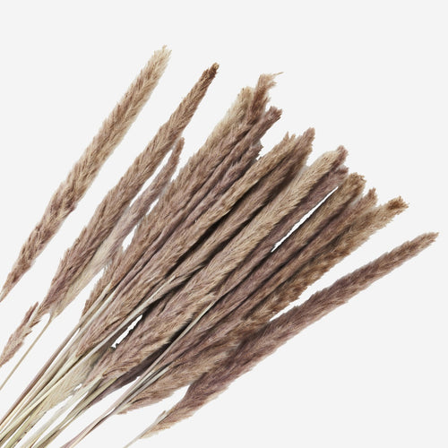 Madam Stoltz Dried Flowers - Giant Silvergrass Natural Bunch