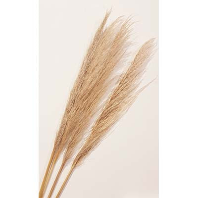 CFS - Pampas Grass (Cortaderia Dried)