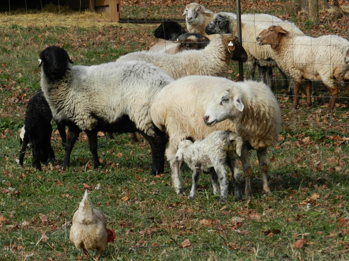 Breed of the week: Karakul, baby lambs and Tinkerbell to the mill