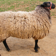 Border Leicester Sheep | Solitude Wool