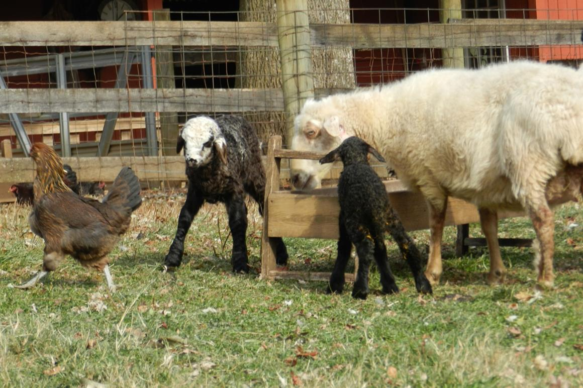 Karakul Sheep and Lambs | Solitude Wool