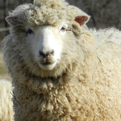 Coopworth Sheep