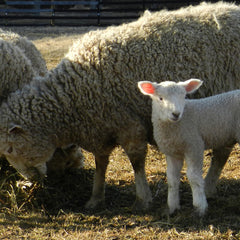 Cotswold Ewe and Lamb | Solitude Wool
