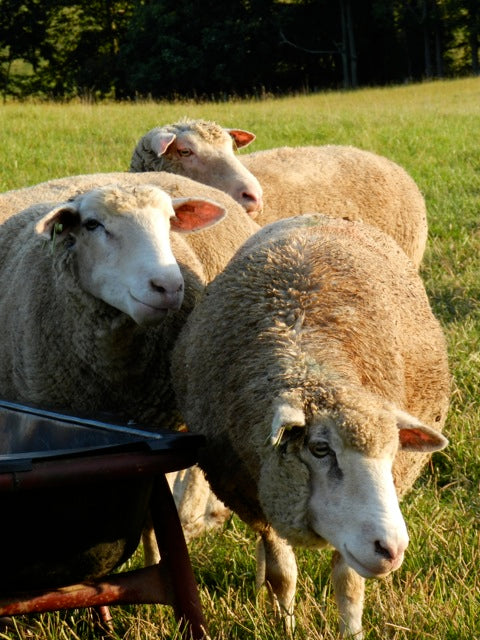 Dorset Sheep - Breed of the Week at Solitude Wool
