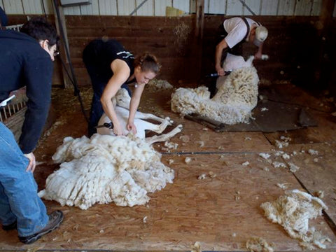 Breed of the Week: Montadale Sheep - Solitude Wool
