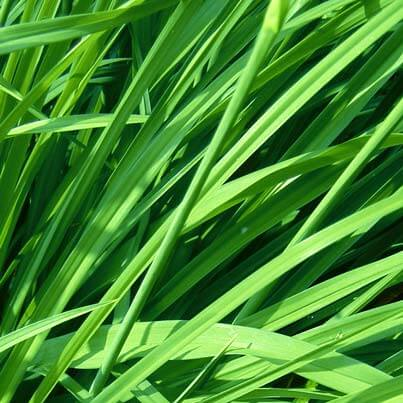 Gingergrass Essential Oil | Uses and Benefits
