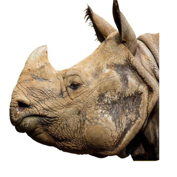 VWAQ Rhino Head Peel and Stick Vinyl Wall Decal - G506 no background