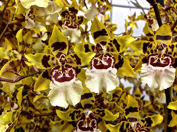 holiday orchid variety