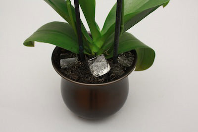 watering orchids with ice