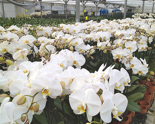 Highest quality orchids