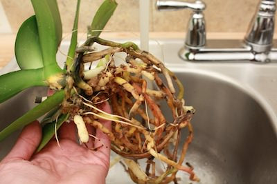 removing orchid potting material