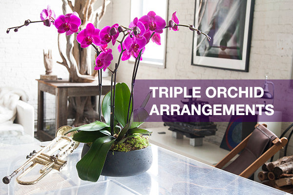 triple orchid arrangements