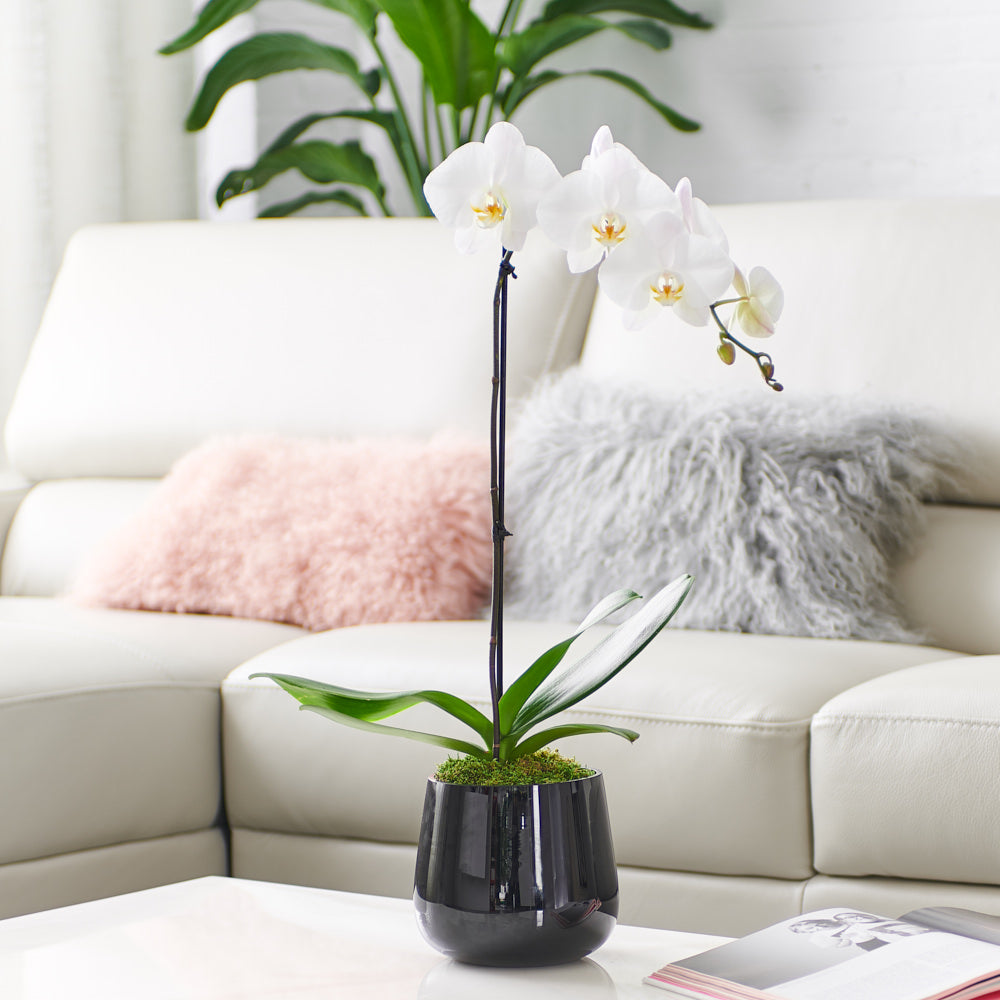 Orchid arrangement classic black with white orchid orchid diva