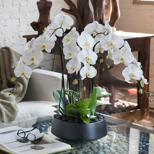 New Orchid Arrangement Grandioso Black With White Orchids | Orchid Diva AD21