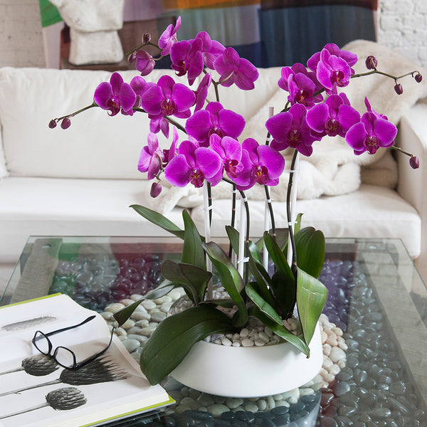 Popular Orchid Arrangement Grandioso White With Pink Orchids | Orchid Diva OD04