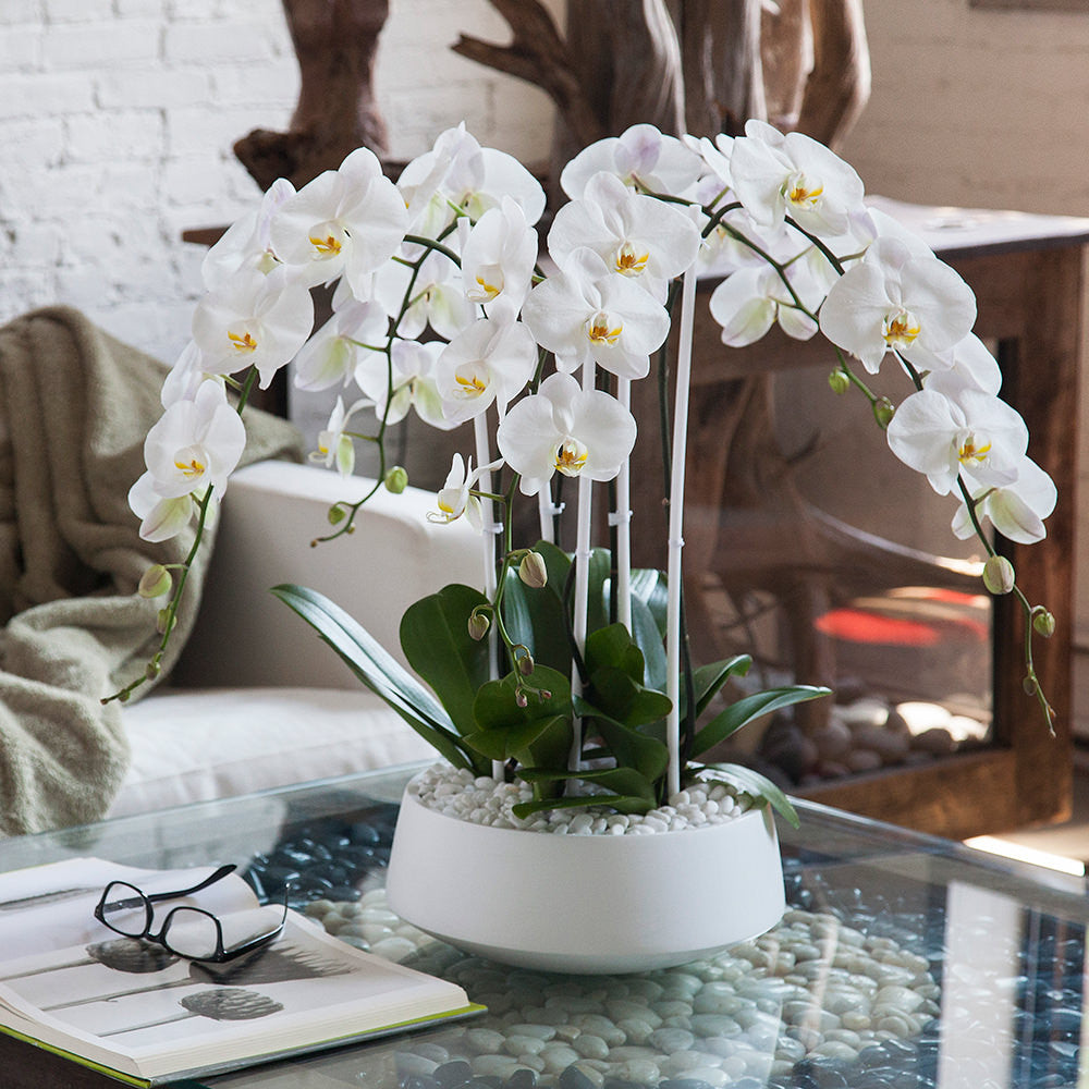 Orchid Arrangement Grandioso White With White Orchids