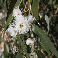 Eucalyptus Essential Oil - Holistic Blends