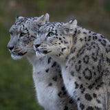 Snow Leopard Cards