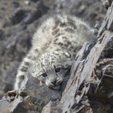 Electronic Snow Leopard Cub Adoption