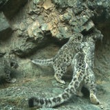 Instant Snow Leopard Family Adoption