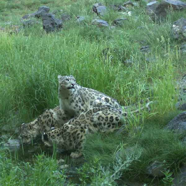 Electronic Flurry of Snow Leopards Adoption