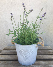 Lavender Plant with Gift Pot