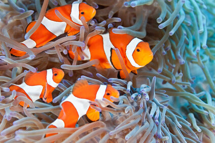 Three Saltwater Fish for small aquariums