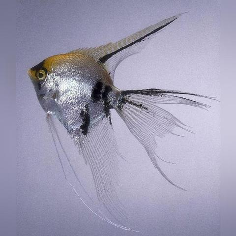 All About Freshwater Angelfish