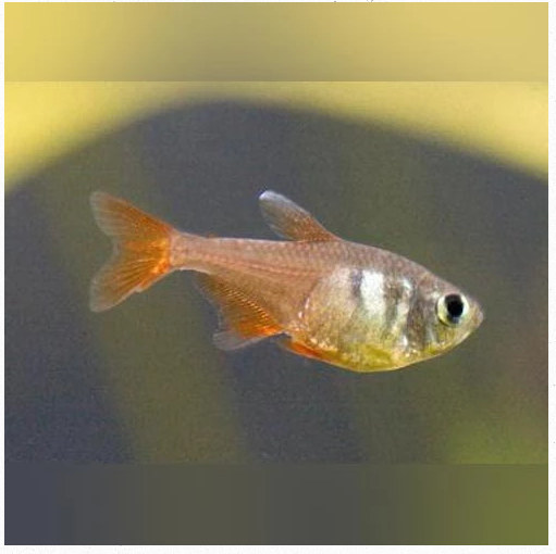 New Arrivals (11/8/2019) Orange Von Rio Tetras and Long-Fin Serpae Tetras
